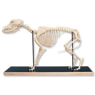 Koira Luuranko (Canis domesticus)