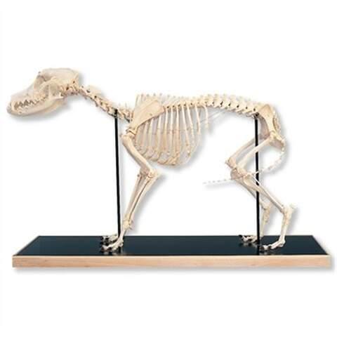 Koira Anatomia
