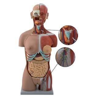 Täydellinen vartalo 27 irrotettavalla osalla (avoin selkä, lihakset, sikiö, vaihdettavat sukuelimet)