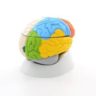 8-osa aivoja malli