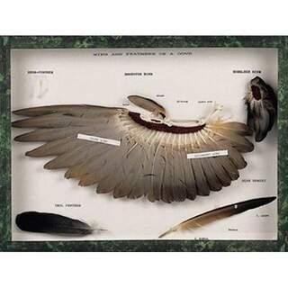 Siivet ja sulat kyyhkynen (Columba palumbus)