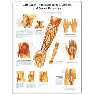 Kliinisesti tärkeät verisuonet ja hermot (kliinisesti tärkeät verisuonet ja hermot)