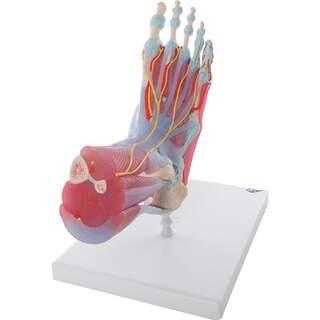 Jalka lihakset, verisuonet, hermot, nivelsiteiden kuusiosainen