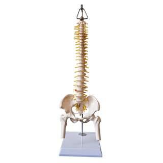 Mini-selkärangan malli lantion, hermojen ja osan reisiluun