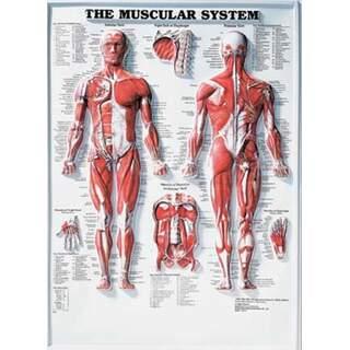 Lihaksikas System 3D - Anatomia juliste