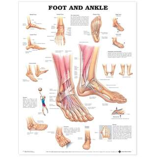 Anatomia juliste - Jalka / Ankle