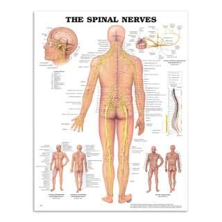Anatomia juliste - selkäydinhermot