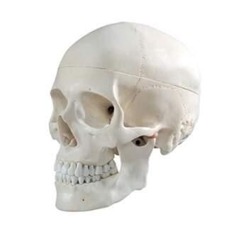 Cranium malli