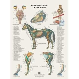 Hevosen hermostojuliste 60x80 cm
