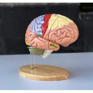 Suuri koulutus aivomalli, jossa värit, nimet ja 5 osaa telineessä
