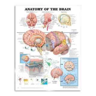 Aivojen anatomia - juliste