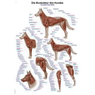 Koiran lihaksia 70x100 cm Juliste - puhdasta Latina, Englanti ja saksa nimikkeistön
