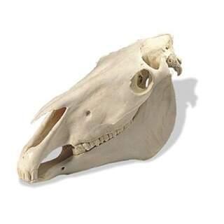 Horse-nosturi (Equus Caballus)