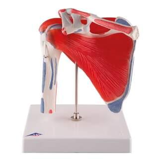 Akselin liikkuva olka-malli lihaksilla, viidessä osassa