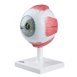 Silmämalli 5x luonnollisessa koossa kuudessa osassa