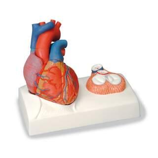 Sydämen malli keskittyy läpät ja valettu todellinen sydän