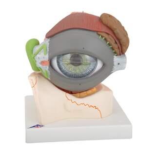 Silmän anatominen malli 5 x luonnonkoko kahdeksassa osassa