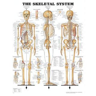 Anatomia juliste - Luuranko