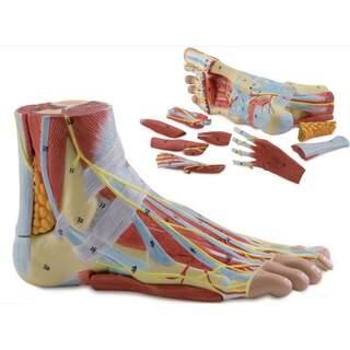 Jalkamalli nivelsiteillä, lihaksilla, verisuonilla ja hermoilla - 9 osaa