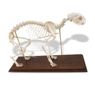 Aito Kissa Skeleton (Felis catus) joustavalla nivelet