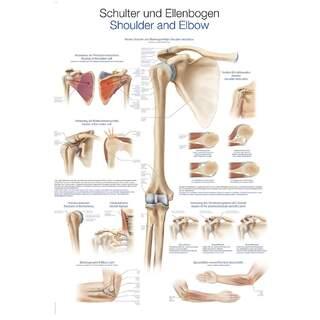 Laminoitu juliste, jossa olkapään ja kyynärpään anatomia ja vammoja saksa ja englanti