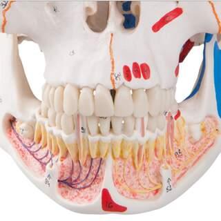 Kallo malli, jossa verisuonet ja hermot alaleuassa ja lihaksen merkinnät.