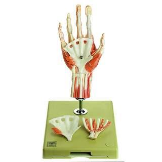 Käsi lihasten malli, jossa on kyynärvarren osa