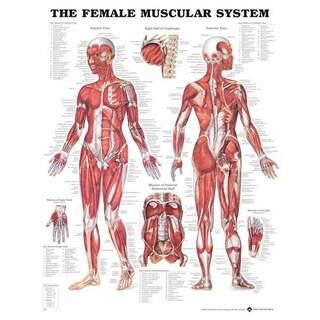 Nainen Muscle - anatomia Lautanen 51x66 cm