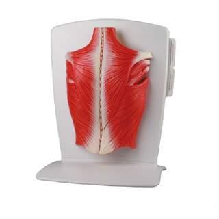 Malli takaisin lihaksia 4 osaa