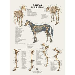 Hevosen luurankojuliste 60x80 cm