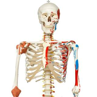 Luustomalli liikkuvilla selkärangoilla, selkärangan hermo-nivelissä jne.