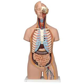 Anatomia Doll - torso 16 osaa