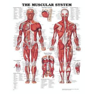Anatomy Julisteet - lihaksia kovaa muovia ja reiät