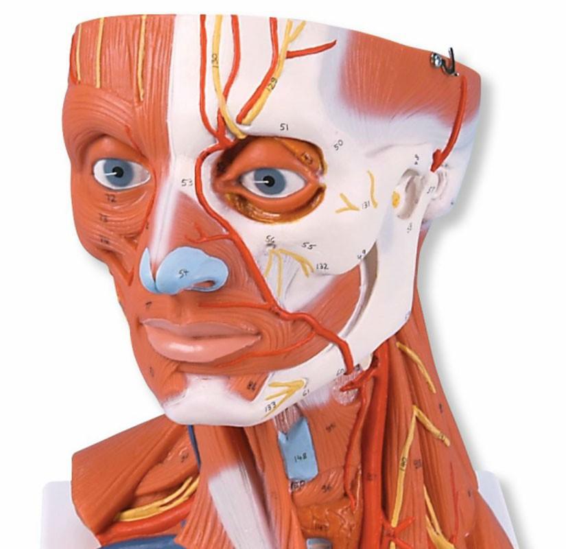 Kaulan Anatomia